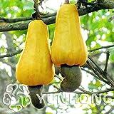 Go Garden Vuelos baratos de China Bonsai 5 anacardo Anacardium occidentale árbol tropical de Nueva crisol de establecimiento jardines Fruta Milagrosa