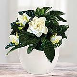 Gardenie mit Keramiktopf - 1 set