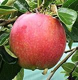 """Säulenapfel """"Valuta"""", Apfelbaum 2 jährig ca.100/140 cm. im Container.Säulen Spätsommer Äpfel"""
