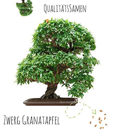 Exotische Bonsai Samen mit hoher Keimrate - Pflanzen Samen Set für deinen eigenen Bonsai Baum (1x Zwerg Granatapfel)