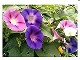 Lot de 50 graines d'Ipomée à grandes fleurs en mélange - plantes annuelles