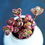 Portal Cool Live-Pflanze Rare Cactus -Sedi Unechte Cv. 'Dragon Blut 6Cm (Gather Multiple)