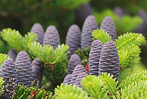 50 Pieces Violet Korean sapin graines Abies Koreana Bonsaï Semer tous les ans Jardin Nouveau