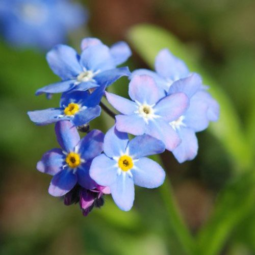 Plant World Seeds - Myosotis Arvensis Seeds