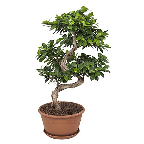 Bonsai von Botanicly - Bonsai - Höhe: 70 cm - Ficus ginseng