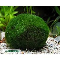 Marimo - Palline di muschio giganti per acquario, 5-7 cm