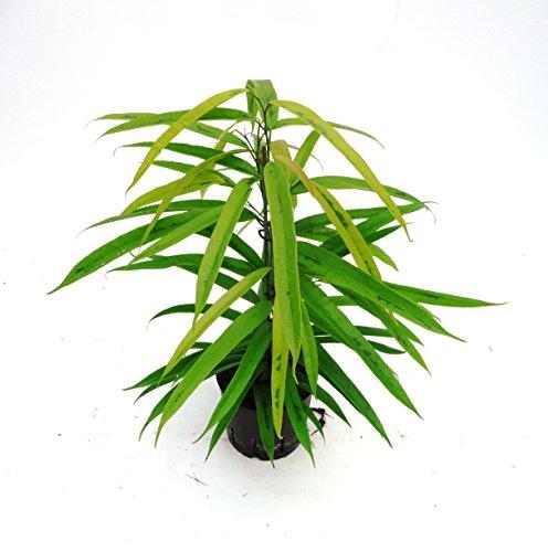 Birkenfeige, Ficus binnendijkii amstel Gold, Zimmerpflanze in Hydrokultur, 13/12er Kulturtopf, 30 - 40 cm