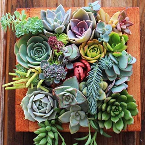 Beautytalk-Garten Mini-Sukkulenten Samen Kombination gemischte saftige grüne Pflanze Blume Topf Samen Desktop Hausgarten Bonsai mehrjährige Winterharter -