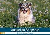 Australian Shepherd 2020 (Wandkalender 2020 DIN A3 quer): Faszinierende und liebenswerte Wegbegleiter (Monatskalender, 14 Seiten ) (CALVENDO Tiere)