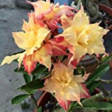 M-Tech Gardens Golden King Taiwan Adenium Obesum Desert Rose Seedling Live Plant
