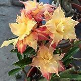 #5: Golden King Taiwan Adenium Obesum Desert Rose Seedling Live Plant ( 1 Healthy Live Plant )