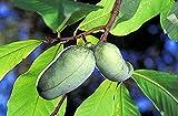 Indianerbanane PawPaw Asimina triloba Pflanze 10cm selten Rarität