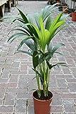 Planta de interior - Planta para la casa o la oficina - Howea forsteriana Palmera Kentia - Palma del paraíso - 95 cm de alto.