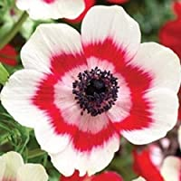 pinkdose 10 Anemone de Caen – Bi-Color, Red and white – Hard to Find Variety ~ Ready to ship