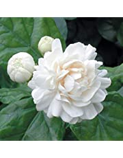 Trothic Gardens Rare ARABIAN Jasmine White Flower (Variety Of Jasmine) 1 Live Healthy Plant