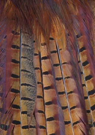 plumas-de-cola-de-faisan-a5-tarjeta-de-felicitacion-por-charles-sainsbury-plaice-csp