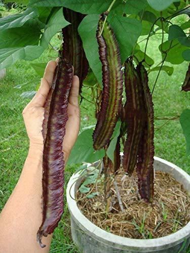 Portal Cool Bohnen-Samen Lila Winged Bohne Gemüse Samen Bio-Samen 10 Samen (Samen Lila Bohne)