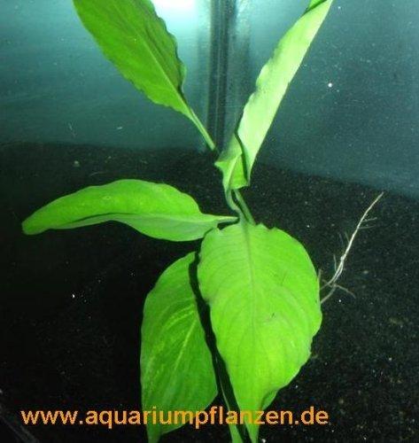 1 Bund Spathiphyllum petite, Speerblatt barschfest