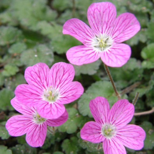 lichtnelke - Reiherschnabel (Erodium variable BISHOPS FORM)
