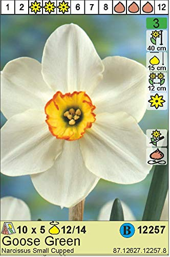 """Narcissus – Narzisse/Osterglocke"""" Goose Green"""" (5)"""