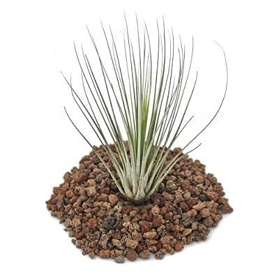 Tillandsia juncea - lose Pflanze - klein