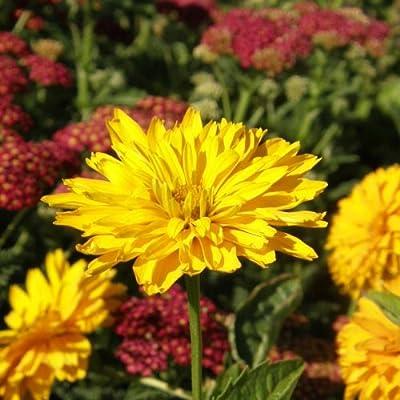 Stauden-Sonnenblume ( Helianthus laetiflorus MISS MELLISH ) von Lichtnelke Pflanzenversand bei Du und dein Garten
