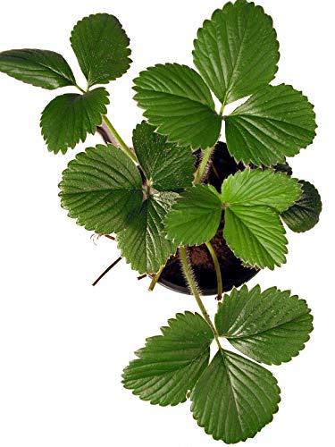"Erdbeerpflanze ""Senga Sengana"" - Altbewährte Sorte"