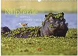 Nilpferde 2019, Wandkalender im Querformat (45x33 cm) - Tierkalender mit Monatskalendarium