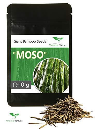 10g RIESENBAMBUS Samen - ca. 350 Stück - Moso Bambus - Winterhart wächst 8 bis 10 Meter in Rekordgeschwindigkeit