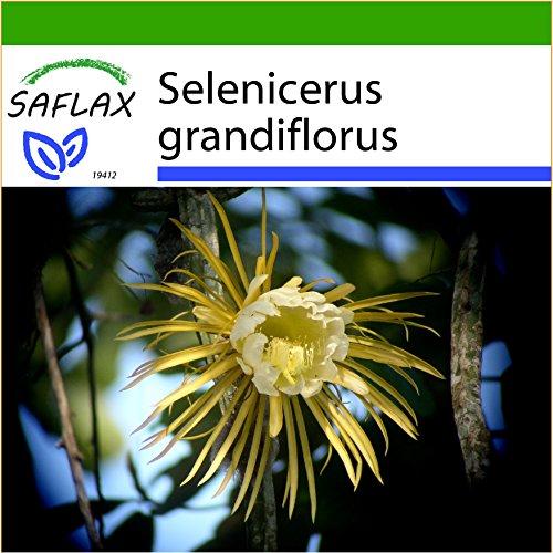 SAFLAX - Kakteen - Königin der Nacht - 40 Samen - Mit Substrat - Selenicerus grandiflorus
