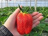 Keland Garten - Riesen Erdbeeren Obstsamen 50 Stück supersüß Extragroß wie Eier, Großfrüchtig aromatisch, geeignet für Ihr Garten, Balkon (50pcs Rot Super large)