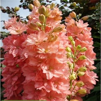 Mix Blumensamen Samen Forking Rittersporn Salmon King (Delphinium consolida) Bio-Blumen-Samen-30pcs + Q013
