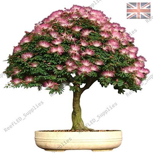 Shoopy Star Rare Albizia Julibrissin Bonsaï, Mimosa en soie Viable Seeds - UK Vendeur