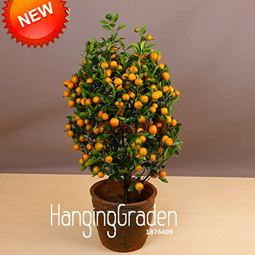 Promotion! 100pcs / Lot Balcon Arbres Patio Potted fruits Graines Plantées Kumquat Graines d'Orange Seeds Tangerine Citrus, # ZY4HSU