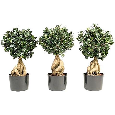 Pianta artificiale Ficus Panda microcarpa bonsai, altezza