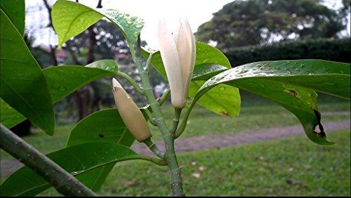 Seedlings India Seedlings India White Sandalwood Seeds