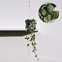 Ceropegia Woodii trailing house plant in 8cm pot. Chain of Hearts