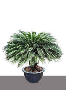 seedeo japanischer palmfarn cycas revoluta 2 samen k che haushalt. Black Bedroom Furniture Sets. Home Design Ideas
