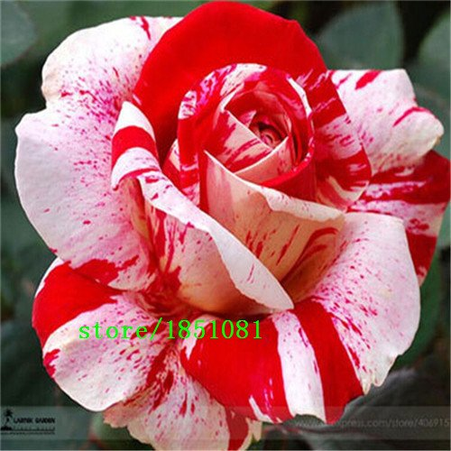 Grande vente 100 Rose Seeds 9 Packs Chaque couleur 100 Graines -DIY SeedsAndPlants Jardinage Pot Balcon & Jardin Parfumé Fleur Plante Bonsai DECORAT
