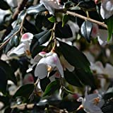 Pianta sempreverde piante da giardino caratteristiche delle piante sempreverdi - Camelia pianta da esterno ...