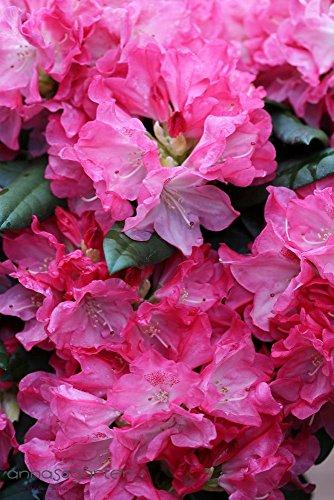 rhododendron-anuschka-inkarho-pflanze-gre-40-50-cm-pflanzenhhe