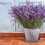 Promoción grande! 100 piezas de lavanda semillas semillas de flores púrpuras por Correos de Hong Kong
