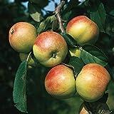 Apfel Gravensteiner- Malus - Winterhart - Fruchtreife September bis Oktober - Liefergröße circa 120cm als wurzelnackte Pflanze