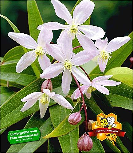 BALDUR-Garten Duft-Clematis 'Armandii' Waldrebe winterhart, 1 Pflanze Klematis mehrjährige...