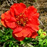 Plant World Seeds - Geum Mrs Bradshaw Seeds