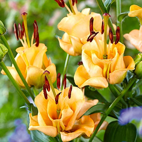 Blumenzwiebeln - Automatikpflanzer