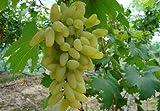 100% Echte Golden Finger Green Sweet Traube Bio-Saatgut, Profi-Pack, 15 Samen / Pack, Hardy Pflanze Köstlicher Frucht
