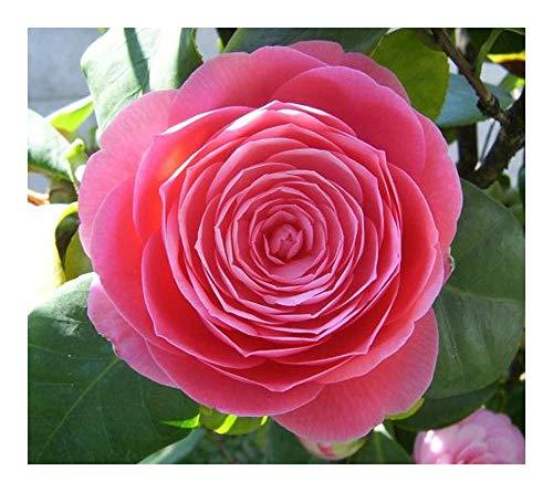 Camellia japonica rosa - Kamelie - Teestrauchgewächs - 10 Samen