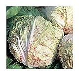 Chicoree - Radicchio Variegata di Lusia - 200 Samen