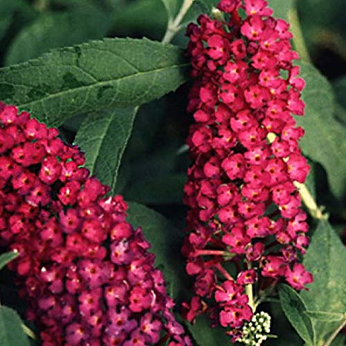 Buddleja Davidii 'Royal Red'- Arbre à papillons 'Royal Red' 40-60 cm en conteneur